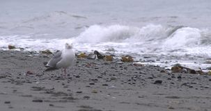 Glaucous-winged Gull on Alaskan Beach Royalty Free Stock Images