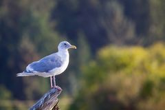 Glaucous-winged gull Larus glaucescens Stock Images