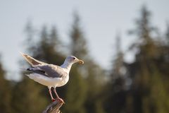 Glaucous-winged gull Larus glaucescens. Sitting on a tree trunk at the beach of Port Renfrew on Vancouver Island, British Columbia, Canada Stock Photography