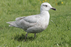 Glaucous-winged Gull (Larus glaucescens) Royalty Free Stock Photography
