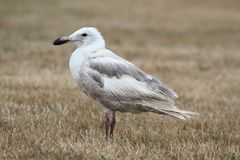 Glaucous-winged Gull (Larus glaucescens) Stock Image