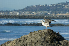 Glaucous-winged Gull. Ocean Beach, CA. Glaucous-winged Gull.  Larus glaucescens. Perched on sand dune with ocean and jetty in background Stock Images