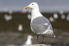 Glaucous-winged gull that sits on a rock at low tide stripe Stock Photo