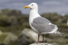 Glaucous-winged gull is sitting on a rock by the Royalty Free Stock Photos