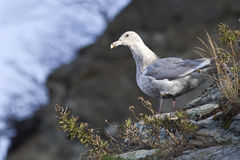 Glaucous-winged gull is sitting on the slope of the shore of the Royalty Free Stock Photography