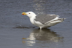 Glaucous-winged gull that stands in water and drinking Royalty Free Stock Photos