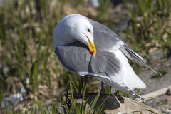 Glaucous-winged gull which cleans feathers gull standing on a ro Royalty Free Stock Photography