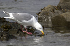 Glaucous-winged gull which forage in the band Royalty Free Stock Images