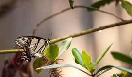 Glaucus de Tiger Swallowtail Butterfly Papilio Photographie stock