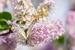 Glaucus oriental de Papilio de papillon de machaon sur le buisson lilas la Floride images stock