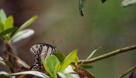 Glaucus Papilio бабочки Swallowtail тигра Стоковая Фотография RF