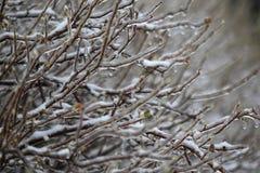 Glaze ice on shrub Stock Photo