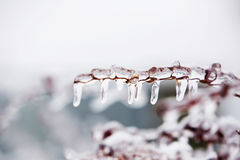 Glazed tree branch after winter ice storm, snow and frozen rain Royalty Free Stock Photography