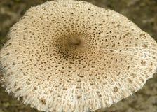 GLB van de paddestoel van Macrolepiota Procera, als Paraso ook wordt bekend die royalty-vrije stock fotografie