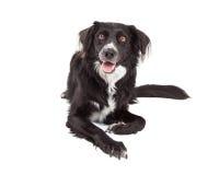 Glückliche Grenze Collie Mix Breed Dog Laying Stockfotos