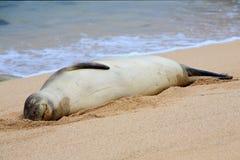 Glückliche hawaiische Mönchs-Robbe Stockfoto
