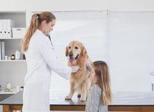 Glücklicher Tierarzt, der ein Labrador überprüft Stockfoto