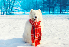 Glücklicher weißer Samoyedhund auf Schnee im Winter Stockfotos