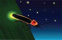 glöda för firefly Arkivbilder