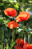 Gleaming Field Poppies Royalty Free Stock Photo
