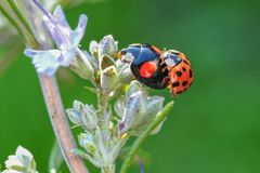 The magnificent ladybird in specific season. In this gleaming image you will find the amazing close-up of Ladybugs in specific season.   You will also find the Royalty Free Stock Photography