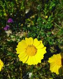 Glebionis coronaria Stock Photography