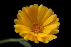 Glebionis-segetum gele ganzenbloem Stockfotografie