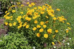 Corn marigold. Glebionis segetum is a species of the genus Glebionis, probably native only to the eastern Mediterranean region but now naturalized in western and stock photos
