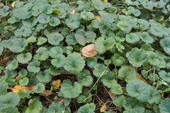 Glechoma hederacea叶子特写镜头在10月 库存照片
