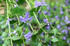 Glechoma Hederacea / Creeping Charlie Royalty Free Stock Photography