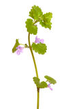 Glechoma hederacea flower Royalty Free Stock Photo