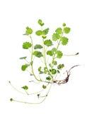 Glechoma hederacea L.,wild snakeroot Stock Images