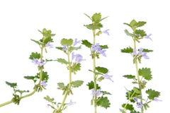 Glechoma hederacea (Mlejący bluszcz) Zdjęcia Stock