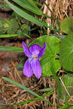 Glechomahederacea (hondsdraf) Royalty-vrije Stock Foto's