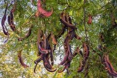 Gleditsia da árvore de fruto Imagem de Stock Royalty Free