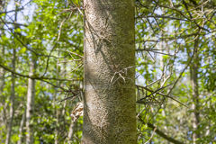 Gleditsia triacanthos in Abkhazia, spiny tree Stock Photography
