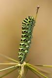 Gleiskettenfahrzeug von Papilio machaon stockfotos