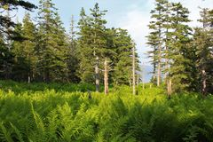A glen with ferns in a seaside forest in the evening near Louisburg, Cape Breton Island Royalty Free Stock Photos