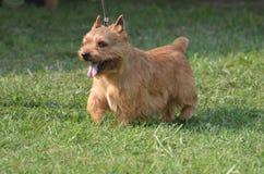 Glen of Imaal Terrier Dog Stock Photo