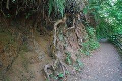 Glenariff lasu parka korzenie zdjęcie royalty free