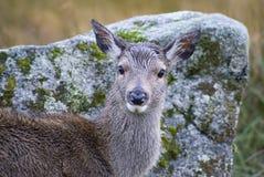 glencoe женщины оленей стоковое фото rf