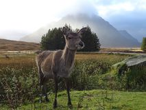 Glencoe deer. A deer posing in front of Buachaille Etive mor stock photo