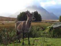Glencoe hjortar arkivfoto