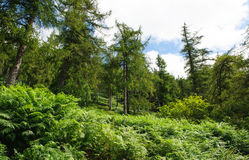 Glenmalure forest Royalty Free Stock Image
