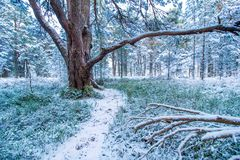 Old tree in winter forest Stock Image