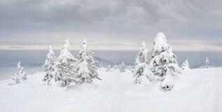 Gles tillväxt av träd med snö-täckte granar i Carpathians Royaltyfri Fotografi