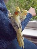 Gli accoppiamenti della mano hanno elevato i Cockatiels Fotografia Stock