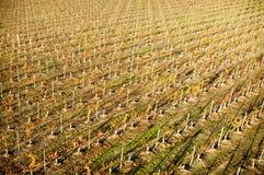 Piantagione dell'acino d'uva Immagini Stock Libere da Diritti