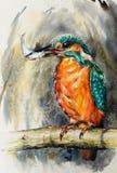 Gli acquerelli comuni del martin pescatore hanno dipinto immagine stock