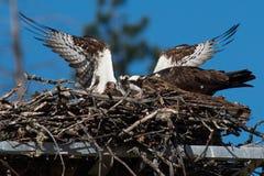 Gli adulti del falco pescatore tendono al loro pulcino recentemente covato nel nido Fotografie Stock